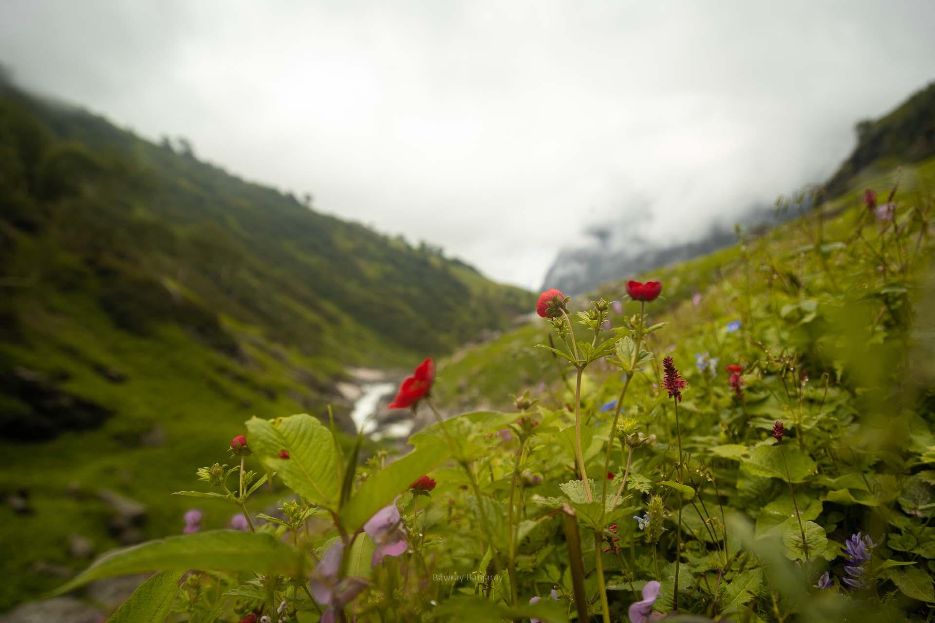 red color flowers on hampta trek
