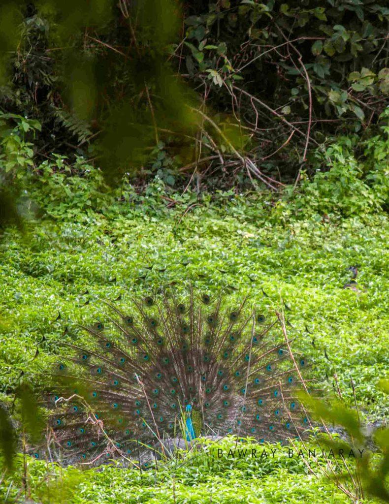 Dancing peacock in Manas National Park